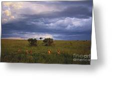Pride Of Lions Greeting Card