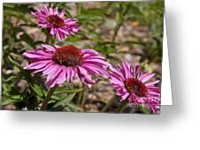 Primadonna Deep Rose Echinacea Greeting Card