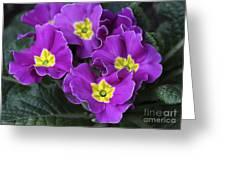 Primrose Purple Greeting Card