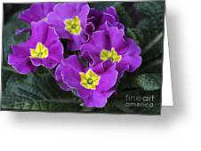 Primrose Purple Greeting Card