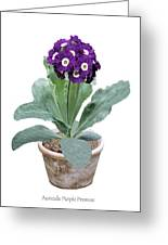 Primula Auricula 'purple Promise' Greeting Card