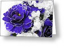 Primulas In The Snow Greeting Card