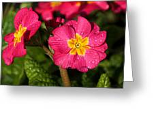 Primulas Greeting Card