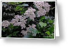 Privet Blossoms 2 Greeting Card