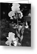 Prized Irises Greeting Card