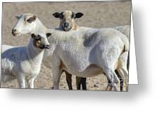Professional Sheep Greeting Card
