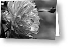 Profile Of A Pamela Howden Dahlia Greeting Card