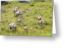 Pronghorn Antelope In Lamar Valley Greeting Card