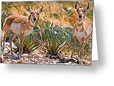 Pronghorn Antelope Greeting Card