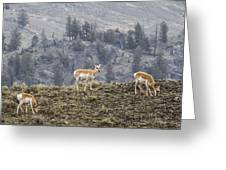 Pronghorn Does Greeting Card
