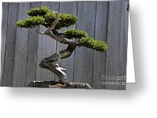 Prostrate Juniper Bonsai Tree Greeting Card