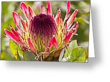 Protea Sugarbush Greeting Card