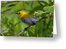 Prothonotary Warble Dsb071 Greeting Card