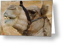 Proud Bou Bou Camel Sinai Egypt Greeting Card