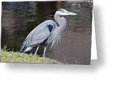 Proud Great Blue Heron Greeting Card