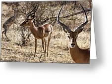 Proud Impala Greeting Card