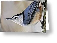 Proud Nuthatch... Greeting Card
