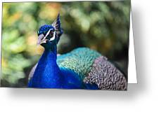 Proud Peacock Greeting Card by Nastasia Cook