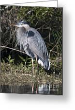 Pround Blue Heron Greeting Card