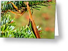 Prying Mantis On The Pine Tree Greeting Card