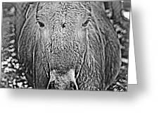 Przewalski's Horse Greeting Card