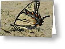 Puddling Eastern Tiger Swallowtail Butterfly Greeting Card