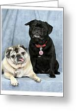 Pug Buddies In Color Greeting Card