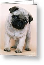 Pug Puppy Dog Greeting Card