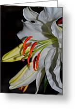 Pure Lily Greeting Card