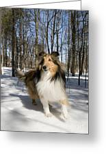 Purebred Collie Greeting Card