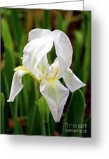 Purely White Iris Greeting Card