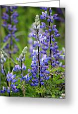 Purple Alaskan Lupines Greeting Card