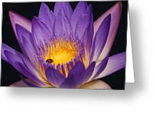 Purple And Bright Yellow Center Waterlily... Greeting Card