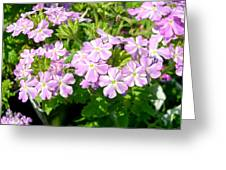 Purple And White Phlox Greeting Card