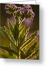 Purple Backlit Greeting Card