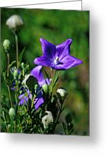 Purple Balloon Flower Greeting Card