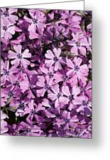 Purple Beauty Phlox Greeting Card