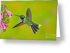 Purple-bibbed Whitetip Hummingbird Greeting Card