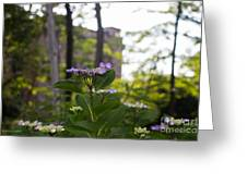 Purple Blossoms Lacecap Hydrangeas Greeting Card