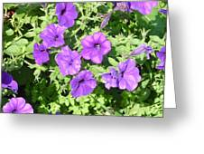 Petunias Purple Club Greeting Card