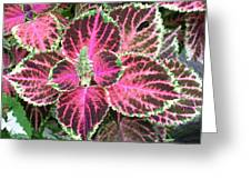Purple Coleus With Seeds Greeting Card