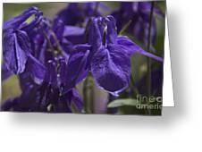 Purple Colimbine 1 Greeting Card