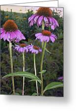 Purple Cone Flowers And Bee Greeting Card