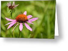Purple Coneflower 8732 Greeting Card
