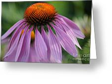 Purple Cornflower Greeting Card