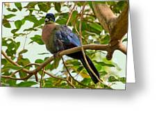 Purple-crested Touraco Greeting Card