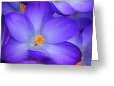 Purple Crocus Close-up Greeting Card