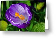 Purple Crocus Greeting Card