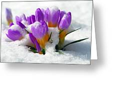 Purple Crocuses In The Snow Greeting Card