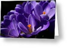 Purple Crocuses On A Spring Day Greeting Card